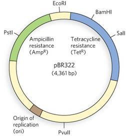 The Plasmid Cloning Vector PBR322, Shown Here, Is ... | Chegg.com
